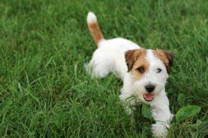 Resources: About Jack Russell Terrier Clubs