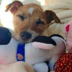 Jack Russell Rescue - Jack Russell Rescue CA